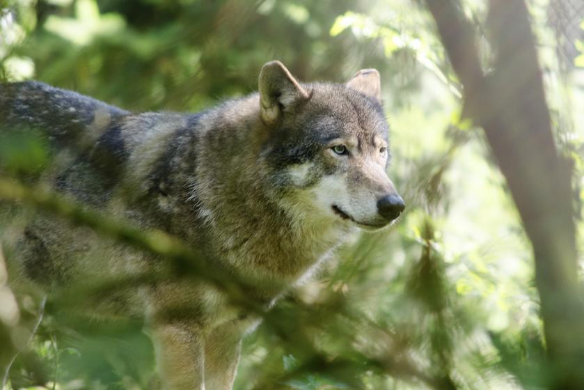 Loslopende wolf in Dierenpark Amersfoort, bezoekers moeten direct naar binnen