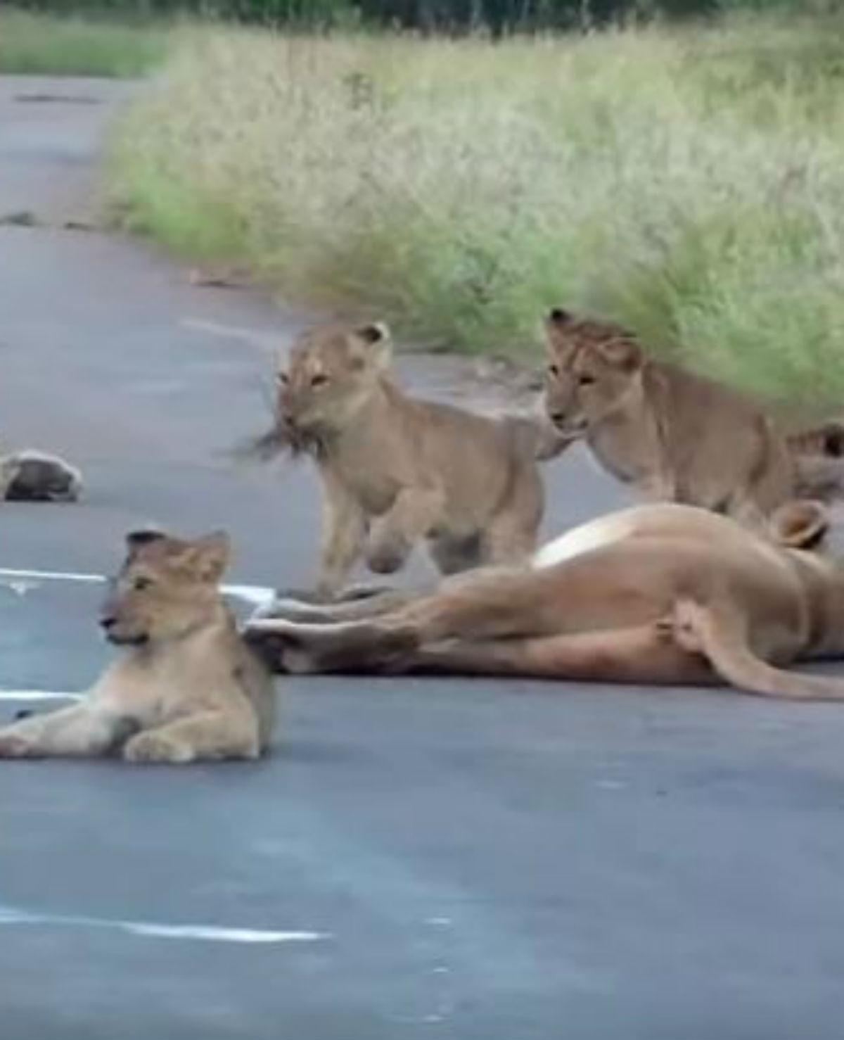 Leeuwenwelpjes zorgen voor wegversperring