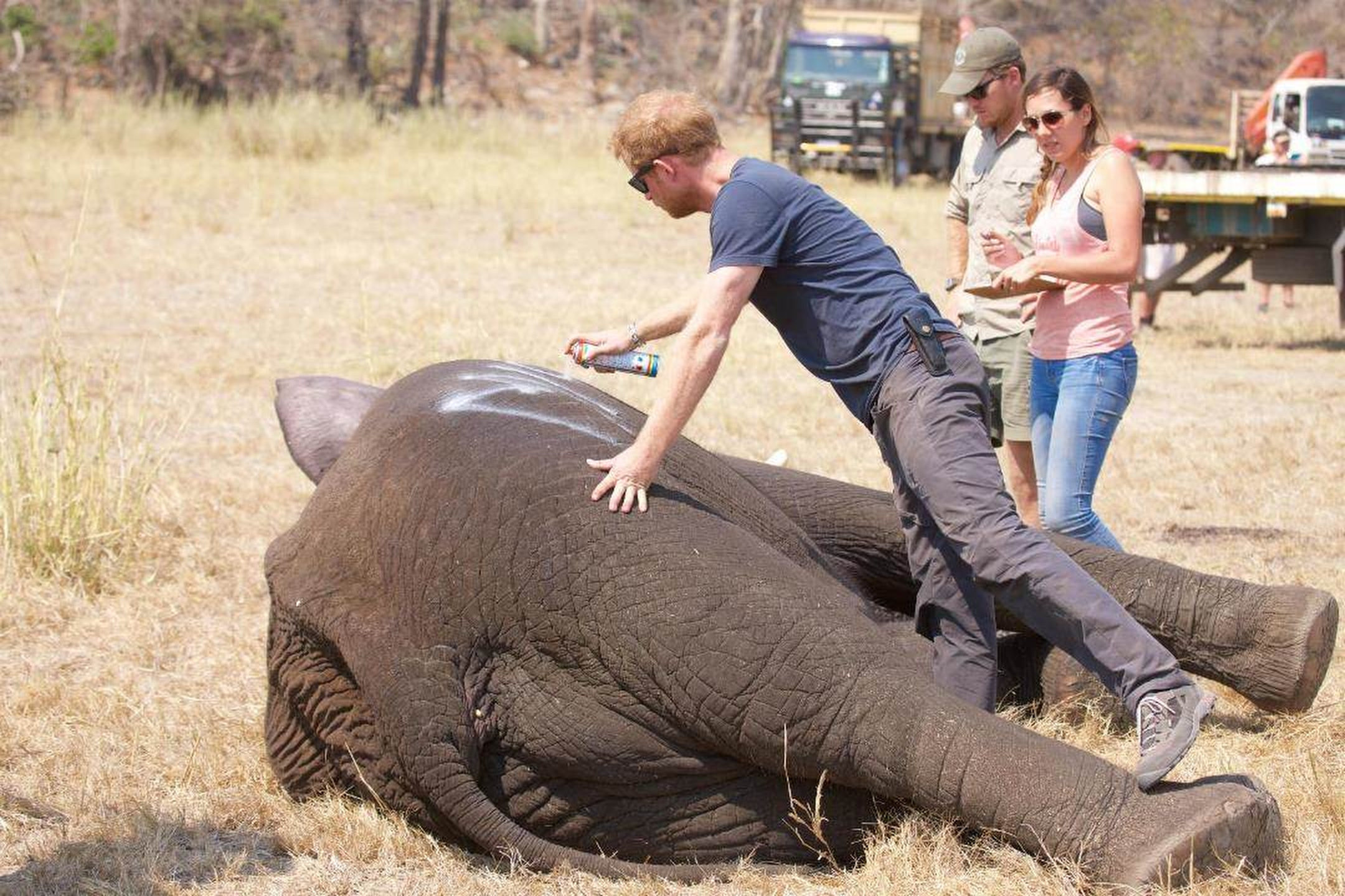 Prince Harry has released photographs and videos of him taking part in one of the world's biggest conversation projects this summer, including shots of him spraying identification marks on a tranquilised animal. The prince, who has often spoken of how he would like to walk away from his royal duties to live in Africa and work on such projects permanently, spent three weeks in Malawi over the summer where he worked alongside volunteers, vets and experts on the frontline of one of the largest and most significant elephant translocations. One of the pictures was taken by the 32-year-old royal himself, and shows a volunteer trying to get a bull elephant to lie down. In another Harry explains how he marked several of the young males so that they will be easily identifiable when released back into the bush. 'The spray paint disappears after a few days,' the prince explained.