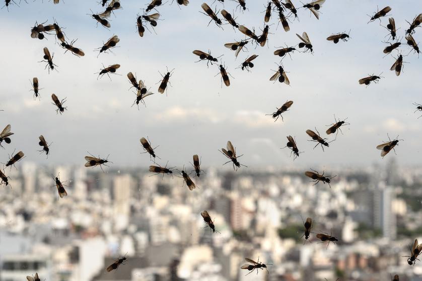 Vliegende mieren? Hier komen ze vandaan en dít doe je ertegen